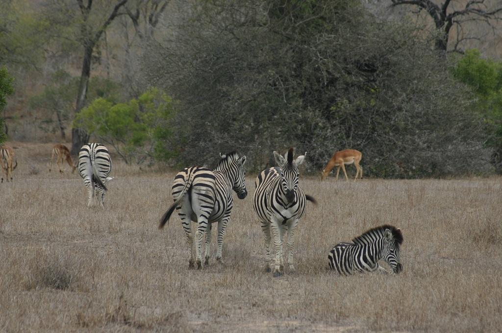 Kruger Park (South Africa)